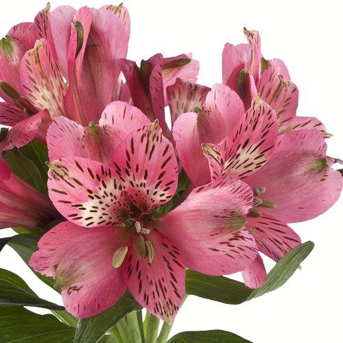 Wholesale Alstroemerias, Peruvian Lilies in Bulk (80 Dark Pink) by eFlowy