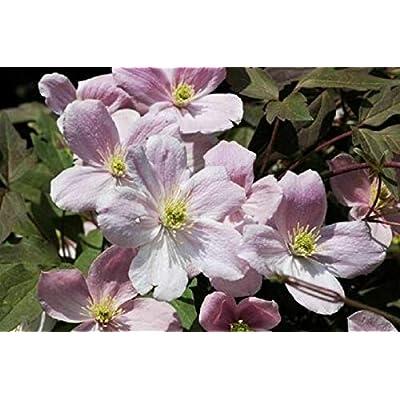 AchmadAnam - Live Plant - Clematis Montana. E4 : Garden & Outdoor