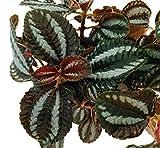 """Friendship Plant - Pilea involucrata - 2 Plants 3"""" pots - Easy Grow House Plant"""