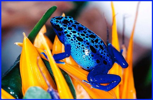 Blue Frog on Bird of Paradise Flower - Etched Vinyl Stained Glass Film, Static Cling Window Decal