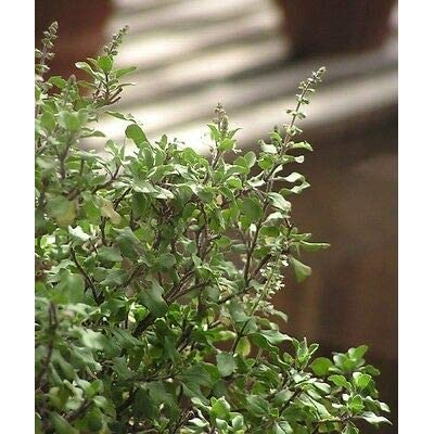 Ocimum Sanctum HOLY Basil Herb Seeds! : Garden & Outdoor
