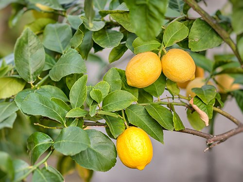 Mother's Day Meyer Lemon Gift Tree by The Magnolia Company - Get Fruit 1st Year, Dwarf Fruit Tree with Juicy Sweet Lemons, No Ship to TX, LA, AZ and CA by The Magnolia Company (Image #6)