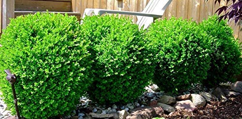 Winter Gem Boxwood Live Plant Rooted 4-7 Inches Tall 6-12 Months Old from Seed (5 Plant Pack)