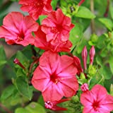 Outsidepride Mirabilis Four O'Clock Vine Red Flower Seed - 1 LB