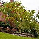 Staghorn Sumac Tree Seeds (Rhus typhina) 40+Seeds