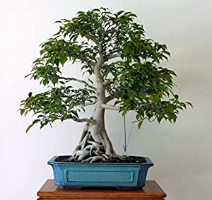 weeping chinese banyan tree 20 seeds ficus benjamina bonsai or house plant by. Black Bedroom Furniture Sets. Home Design Ideas