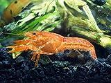 1 Male/Female Pair of ORANGE CPO Dwarf Mexican Crayfish/Mini Lobsters (Cambarellus patzcuarensis) - 1/2 inch to 1 1/2...