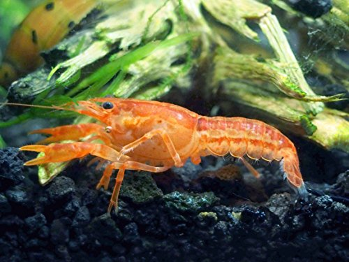 1 Male/Female Pair of ORANGE CPO Dwarf Mexican Crayfish/Mini Lobsters...
