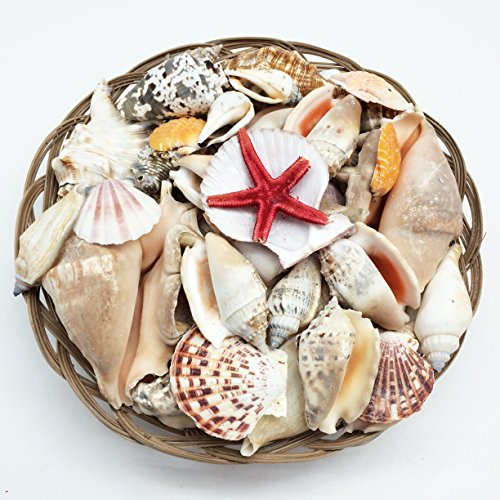 PEPPERLONELY 10 Inch Baskets Of Sea Shells, Approx. 100+ PC Shells (Turbo Shell Snail)