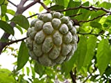 PlenTree Organic 10 Seeds Sugar Apple Annona Squamosa + 2 Atemoya Seeds Rare Fruit Tree Custard Apple T034