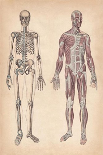 Human Skeleton and Muscles Hand Colored Engraving 1861 Vintage Art Print Poster 24x36 ()