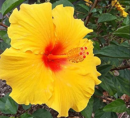Amazoncom Hawaiian Yellow Hibiscus Plant Cutting Grow Hawaii