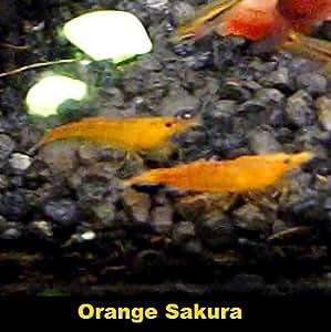 "'neocardina Davidi ""Naranja Naranja de Sakura Sakura Enano Camarones/naranja Sakura Shrimp 5animales"