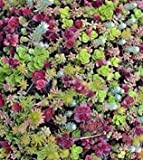 Sedum mixed 50 seedssucculents excellent performing ground cover CombSH D45