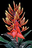 Aechmea Frappuccino Bromeliad, Rare Hybrid Tropical Plant (State Restrictions Apply), 6 Pack (6in Pot, Live Plant) Landscape
