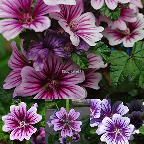(Portal Cool Herb Seeds - Basil Greek - 2000 Seeds)