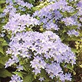 Campanula (Bellflower) lactiflora New Hybrids 1,000 seeds