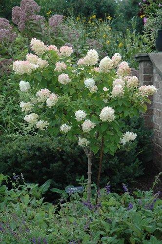Hydrangea Limelight Tree > Hydrangea paniculata 'Limelight' >Landscape Ready 7 gallon Container