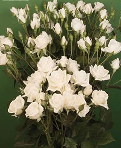 120 Real Fresh Spray Rose, Snowdance by FarmDirect