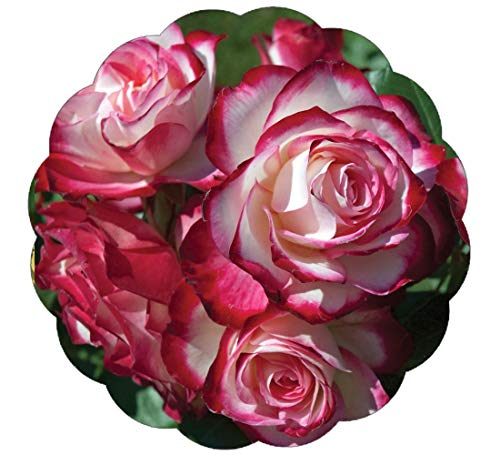 Stargazer Perennials Cherry Parfait Rose Plant Potted | Reblooming Fragrant Hardy Shrub Red ()