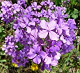 Moneyplant Lunaria annua Flower Seeds 50 Seeds