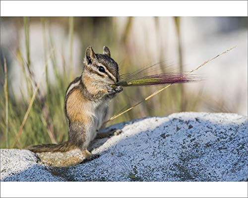 Media Storehouse 10x8 Print of USA, Wyoming, Sublette County. Chipmunk Feeds on The Seed Head of a Foxtail (19026714)