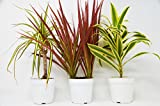 3 Different Dracaenas Variety Pack - Live House Plant - FREE Care Guide - 4'' Pot - HARD TO KILL
