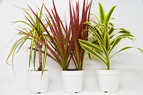 3 Different Dracaenas Variety Pack - Live House Plant - FREE Care Guide - 4'' Pot - HARD TO KILL by House Plant Shop