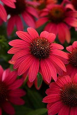 Sombrero Baja Burgundy Coneflower Perennial - Echinacea - Gallon Pot