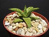 "Gasteraloe cv Helen Haage @ exotic aloe rare succulent plant gasteria 4"" pot"