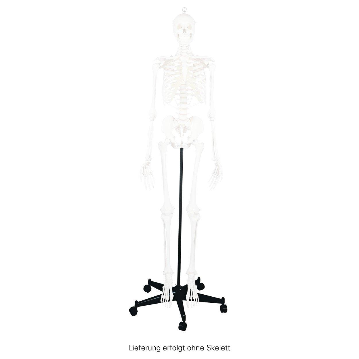 Rollstativ mit Haltestange für Skellte, Ständer für Anatomie Modelle ...