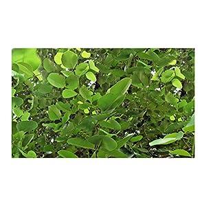 Red Sandalwood 5 Seeds Small Rare Tropical Tree Pterocarpus santalinus bright green leaves Bonsai Perfect Houseplant Container Gardening 129