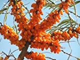 15 Sea Buckthorn Seaberry Sea Berry Rare Seeds