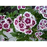Perennial: SWEET WILLIAM Arctic Fire, 30 seeds, Dianthus deltoides, Blooms 1st yr Easy To Grow - High Germination, Fresh Seed