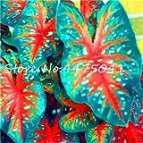 150 pcs Multiple Colour Thailand Caladium Seeds