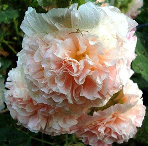 Rose tr/émi/ère Chater pour double Saumon Graines Althea Rosea Fl PL.