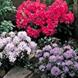 3 Pack Mixed Rhododendrons In 9CM Pots Evergreen Shrubs Flowers Garden - CHOOSE YOUR OWN FROM THE LIST IN THE DESCRIPTION OR GET 3 RANDOM ONES!