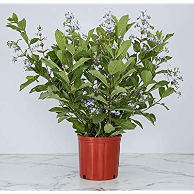Butterfly Bush Live Plant - Claredendron Blue Butterfly - 3 Gallon Pot - Overall Height 24