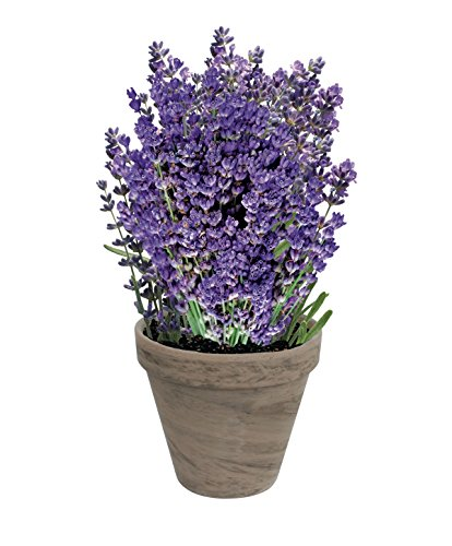 Grow Fresh Lavender Indoors | Great Father's Day Gift | Grow Your Own Lavender From Seed | Guaranteed to Grow | Non-GMO Lavender Starter Kit With Easy Instructions | Exclusively By TotalGreen Holland
