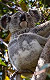 Notebook: Koala Australian Wildlife Animals Cute