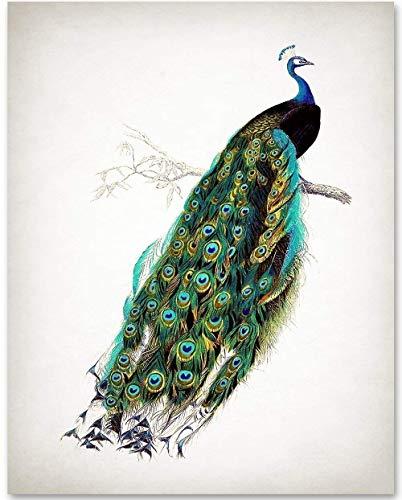 Antique Peacock Illustration - 11x14 Unframed Art Print - Makes a Great Gift Under $15 for Bathroom Decor ()