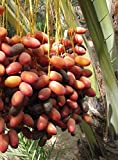 Califonia Red Date Palm tree .Fruits .Palm fruits.Live tree for TWO TREE>one fee