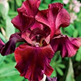 (3) Fancy Mixed Bearded Iris Roots,Rhizomes, Plants,Starts, For Spectacular Flowers Year After Year