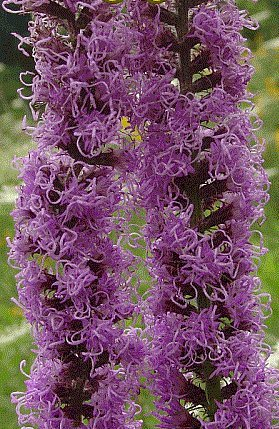 HEIRLOOM NON GMO Prairie Blazing Star 100 (Prairie Blazing Star)