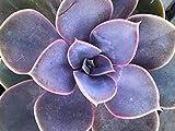 """Echeveria 'Perle Von Nurnberg' Live Purple xeriscape Outdoor Succulent Garden Plant; 4"""""""