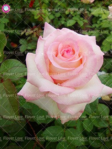 SwansGreen 18 : 100PCS Chinese Rose Seeds Seeds Seeds Negro Rose So Charming Bonsai Flower Seeds Rare Perennial Flowers Plant For Home Garden Send Gift 18 314738