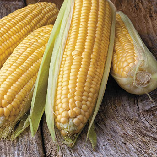 Honey Select Yellow Corn Hybrid Seeds, 50+ Premium Heirloom Seeds, Sweet Corn, Fantastic Addition to Your Garden! (Isla's Garden Seeds), Non GMO Organic, 90% Germination Rates, Highest Quality Seeds