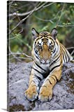 Canvas On Demand Premium Outdoor Canvas Wall Art Print entitled India, Bandhavgarh National Park, tiger cub lying on rock