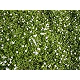 "(18 Plant Flat of 3.5"" Pots) Blue Star Creeper (Groundcover) Carpet of Small Green Leaves and Tiny Blue Star Flowers"