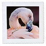 3dRose Danita Delimont - Birds - South America. Immature Chilean Flamingo portrait. - 16x16 inch quilt square (qs_258388_6)